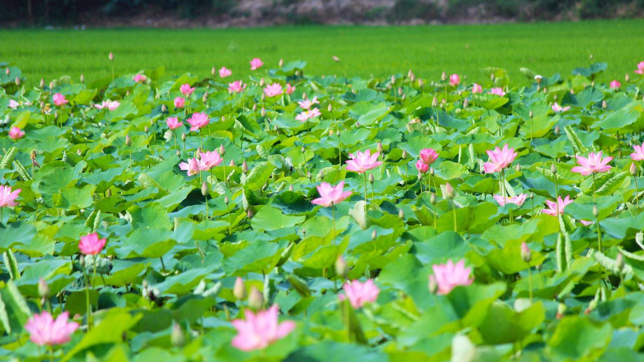 Hoa Sen – Ý nghĩa và Biểu tượng quốc hoa Việt Nam